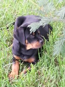 Callum as a puppy - only 20kgs!