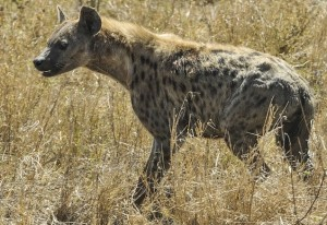 grinning hyena